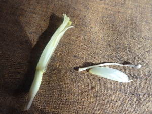 banana floret